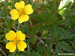 Tepperot (Potentilla erecta)