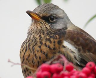 hvordan foringsplass for fugl